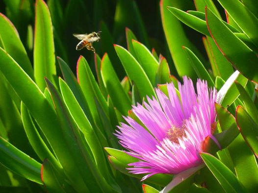 Shooting bees with Nikon coolpix